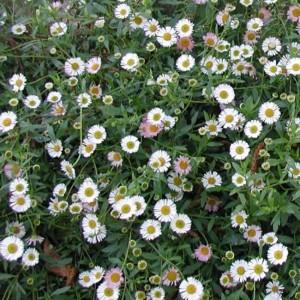 Erigeron Karvinskianus ' Profusion ' - 50 Seeds - Fleabane - Medicinal Plant