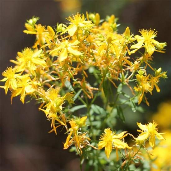 Hypericum Perforatum 'Topas' St Johns Wort - 200 Seeds