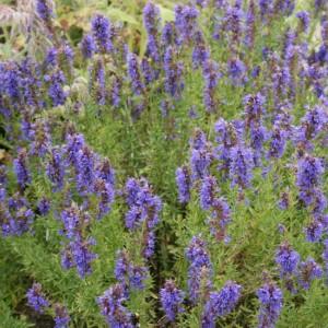 Hyssopus Officinalis - 500 Seeds - Medicinal Hyssop