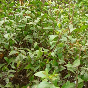 Lawsonia Inermis - 50 Seeds - Henna / Mehndi - Egyptian Privet