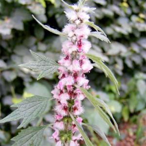 Leonurus Cardiaca - 300 Seeds - Motherwort Medicinal Plant