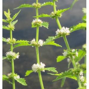 Lycopus Europaeus - 500 Seeds - Gypsywort Medicinal Plant