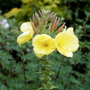 Oenothera Biennis - 2000 Seeds - Evening Primrose Medicinal