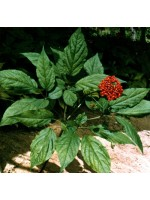Panax Ginseng - 10  Fresh Seeds - Medicinal Plant