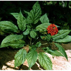 Panax Ginseng - 50  Fresh Seeds - Medicinal Plant