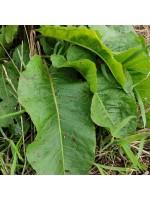 Rumex Obtusifolius - 250 Seeds - Curly Dock