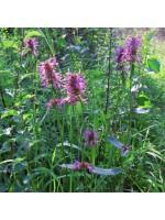 Stachys Officinalis - 500 Seeds - Hedgenettle Betony Medicinal