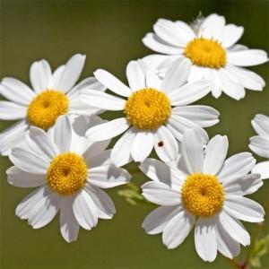 Tanacetum Parthenium - 500 Seeds - Green Feverfew - Medicinal Plant