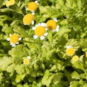 Tanacetum Parthenium Aureum - 500 Seeds - Golden Feverfew - Medicinal Plant