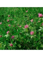 Trifolium Pratense Seed - Red Clover - 20g approx 10,000 seeds - Medicinal Plant