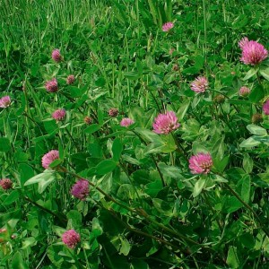 Trifolium Pratense Seed - Red Clover - 5g approx 2500 seeds - Medicinal Plant