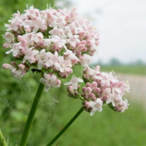 Valeriana officinalis - 200 Seeds - Valerian Medicinal