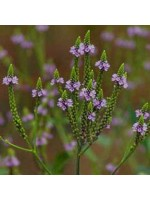 Verbena Officinalis - 500 Seeds - Vervain - Medicinal Plant
