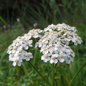 Achillea millefolium - 500 Seeds - Yarrow Medicinal Plant