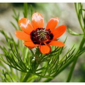 Adonis Aestivalis - 50 Seeds - Pheasants Eye / False Hellebore Medicinal Herb