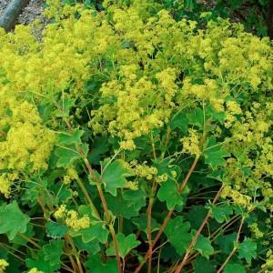 Alchemilla Xanthochlora Seeds - Ladys Mantle Medicinal