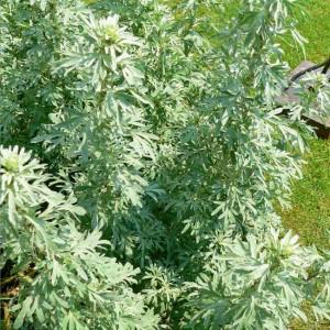 Artemisia Absinthium - 2000+ Seeds - Wormwood Medicinal Plant