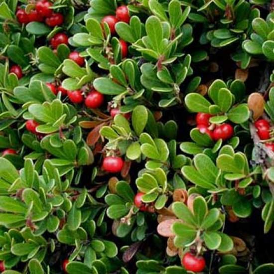 Arctostaphylos Uva-ursi - 25 Seeds - Common Bearberry Kinnikinnick