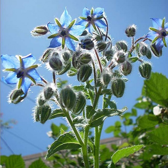 Borago Officinalis - Borage 100 Seeds Medicinal Plant