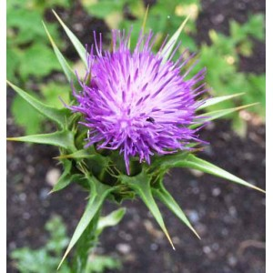 Silybum Marianum - 50 Seeds - Milk Thistle Medicinal Plant