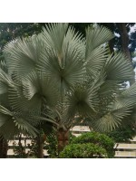 Bismarckia Nobilis 'Silver' - 5 Seeds - Madagascar Palm
