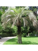 Butia Odorata – 10 Seeds - Southern Jelly Palm