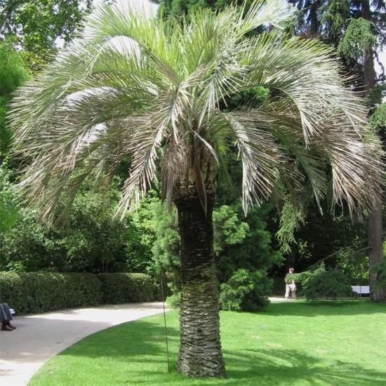 Butia Odorata – 10 Seeds - Southern Jelly Palm