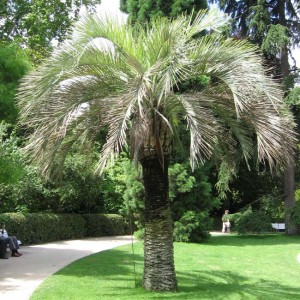 Butia Capitata - 5 Seeds - South American Jelly Palm