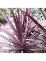 Cordyline Australis 'Purpurea' - 20 Seeds - New Zealand Purple Cabbage Palm