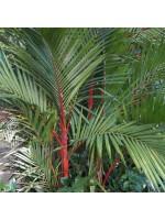 Cyrtostachys Renda - 50 Fresh Seeds - Red Sealing Wax Palm