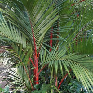 Cyrtostachys Renda - 10 Fresh Seeds - Red Sealing Wax Palm