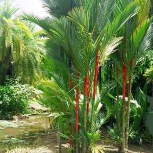Cyrtostachys Renda - 10 Fresh Seeds - Red Sealing Wax Palm