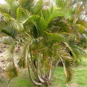 Dypsis Lutescens - 10 Seeds - Golden Cane Areca Palm
