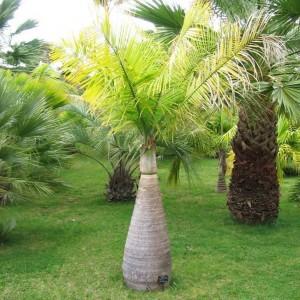 Hyophorbe Lagenicaulis - 10 Seeds - Bottle Palm