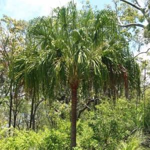 Livistona Decora - 6 Seeds - Australian Ribbon Fan Palm