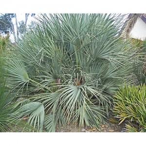 Nannorrhops arabica 'Silver' - 10 Seeds - Cold Hardy Mazari Palm