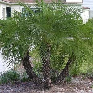 Phoenix Roebelenii - 10 Seeds - Pygmy Date Palm Tree