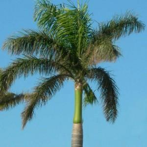 Roystonea Regia - 10 Seeds - Royal Palm Tree
