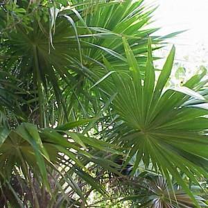 Thrinax Radiata - 20 Seeds - Florida Thatch Palm