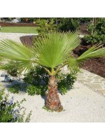 Washingtonia Filifera - 25 Seeds - California Fan Palm