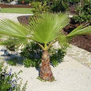 Washingtonia Filifera - 25 Seeds - California Fan Palm
