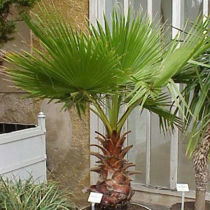 Washingtonia Robusta - 25 Seeds - California Thread Palm