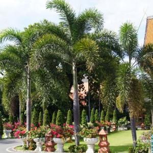 Wodyetia Bifurcata - 5 Seeds - Queensland Foxtail Palm