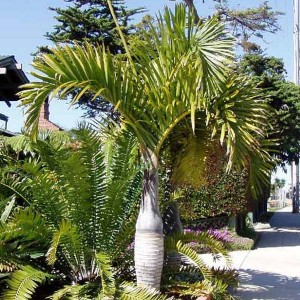 Hyophorbe Verschaffeltii - 10 Seeds - Spindle Palm