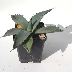 Agave Neomexicana - Plant in 9 cm pot - Hardy Mexican Succulent