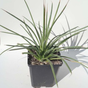 Agave Stricta Rubra - Plant in 9 cm Pot - Red Hedgehog Agave!