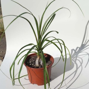 Beaucarnea - Plant in 9 cm Pot - Mexican Pony Tail Palm Sotolin