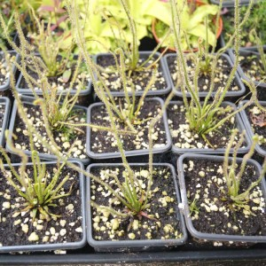 Drosera Filiformis - Plant in 7 cm Pot - Carnivorous Plants
