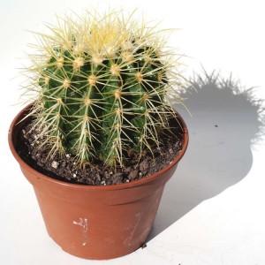 Echinocactus Grusonii - Plant in 15 cm Pot - Mother in Laws Cushion Cactus
