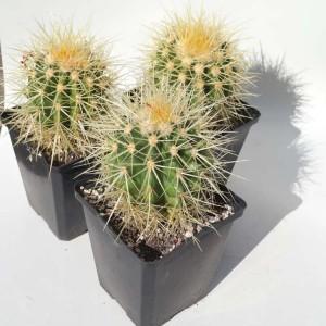 Echinocactus Grusonii - Plant in 9 cm Pot - Mother in Laws Cushion Cactus